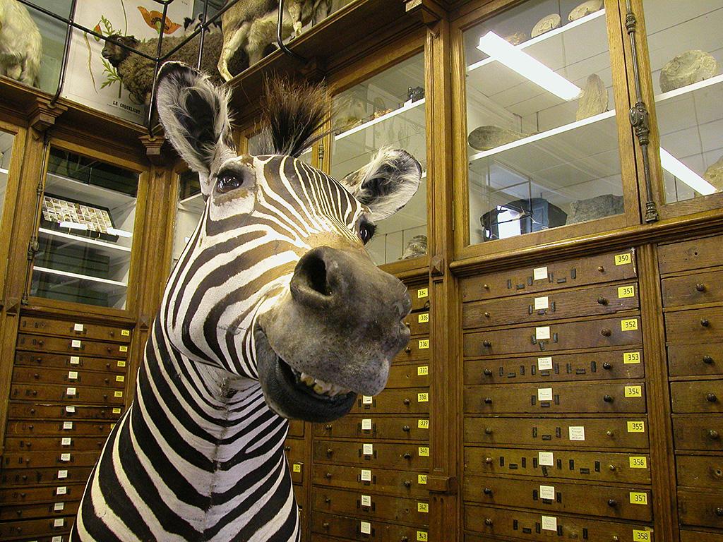Le zebre - Deyrolle
