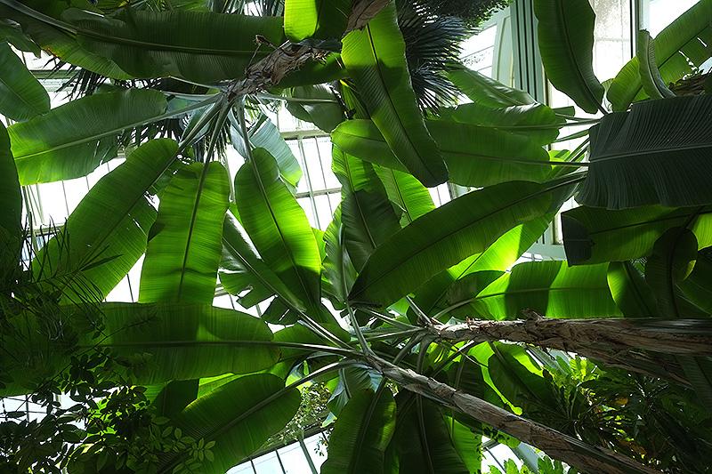 Bananier dans une Grande serre du Jardin des plantes